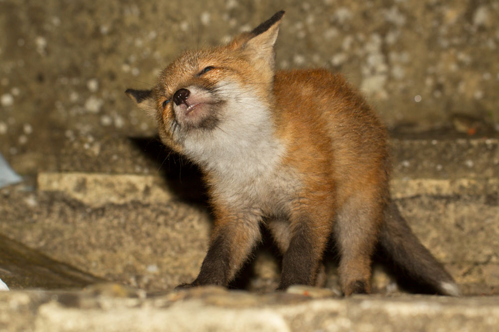 Young fox cub (Vulpes vulpes) shaking its head vigorously against stone wall background.
