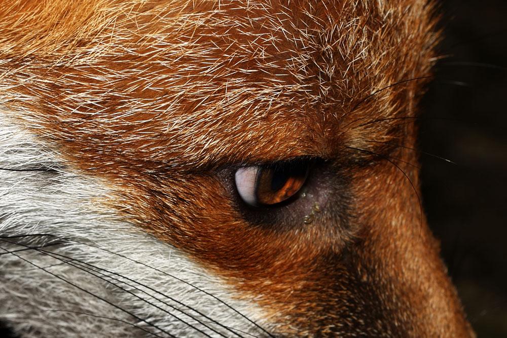 fox_cheeky_0210102657