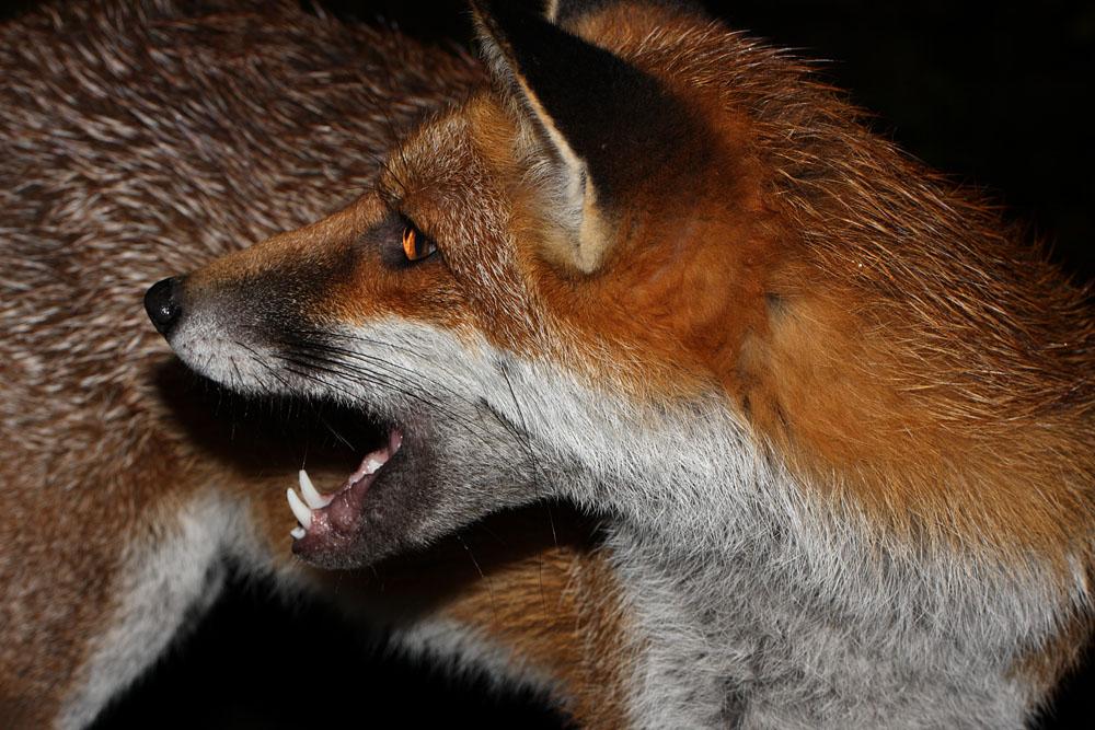 fox_cheeky_0210102676