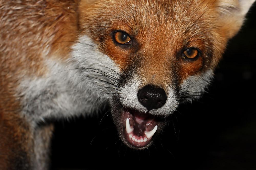 fox_cheeky_0210102682