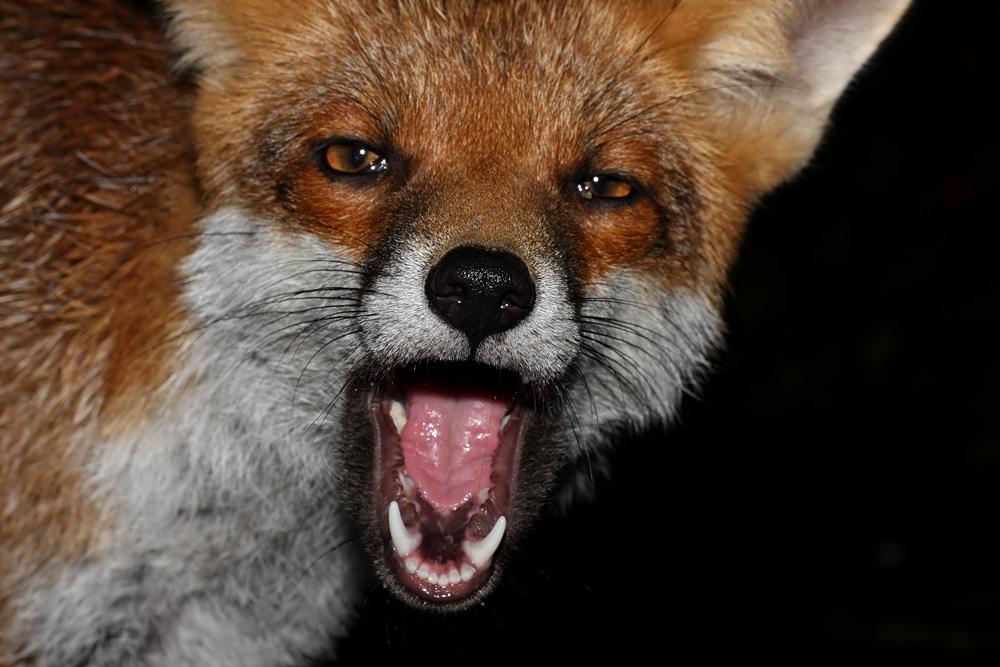 fox_cheeky_0210102683