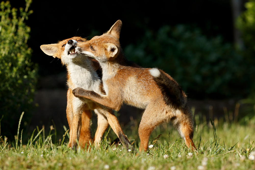 Fox cub and vixen playing. The vixen is 15 months old and is the sister of the younger (3 month old) cub. As a young vixen she is a 'helper' to the parent vixen and takes her turn looking after the younger cubs. She is likely to breed herself next season.