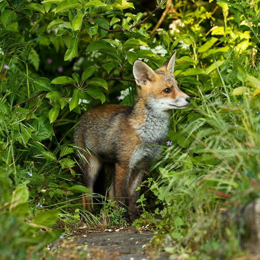 Fox cub on the look out