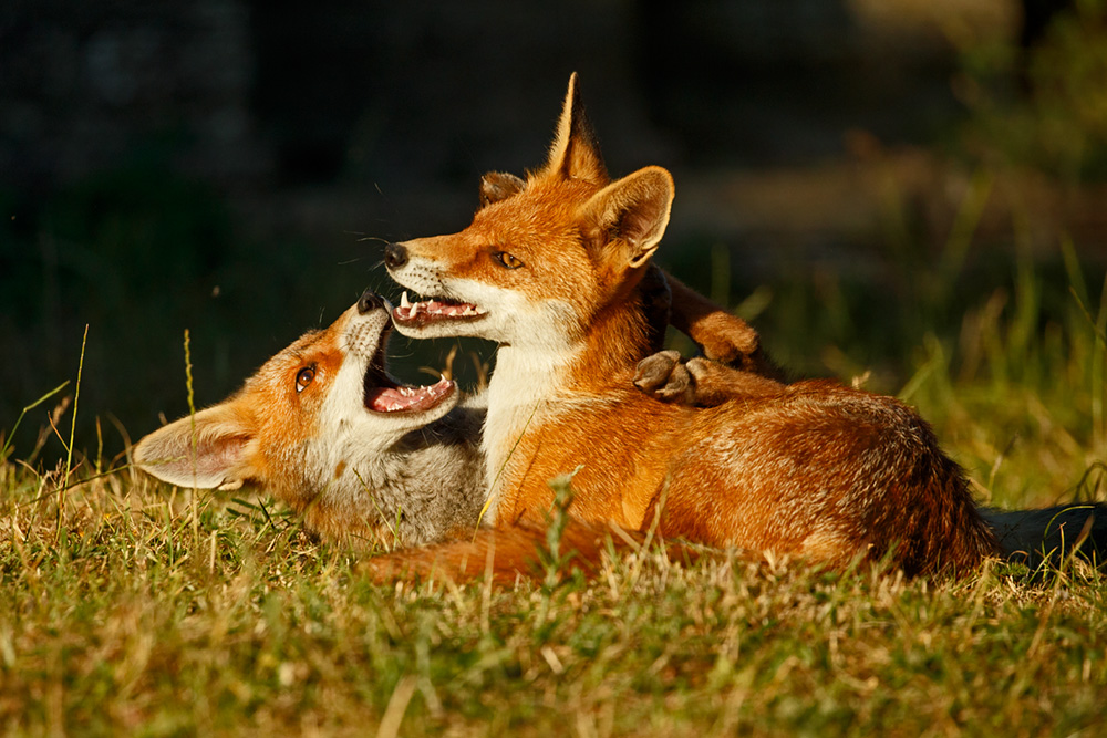 Pretty Vixen and Wolfie play-fighting