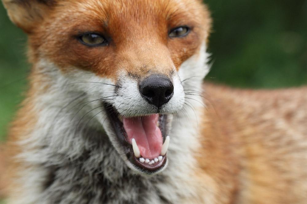 fox_1407114362bwc_