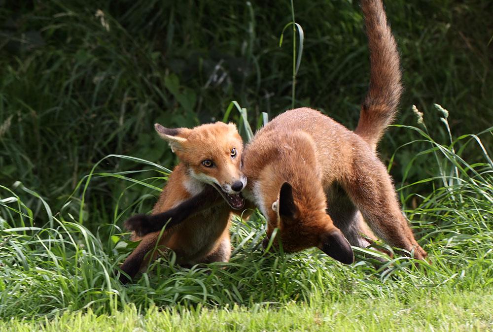 fox_1407114429bwc_