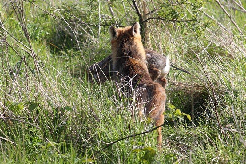 fox_prey_0205090805