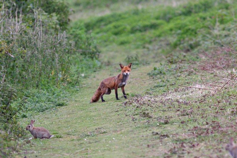 fox_vixen_1605092542