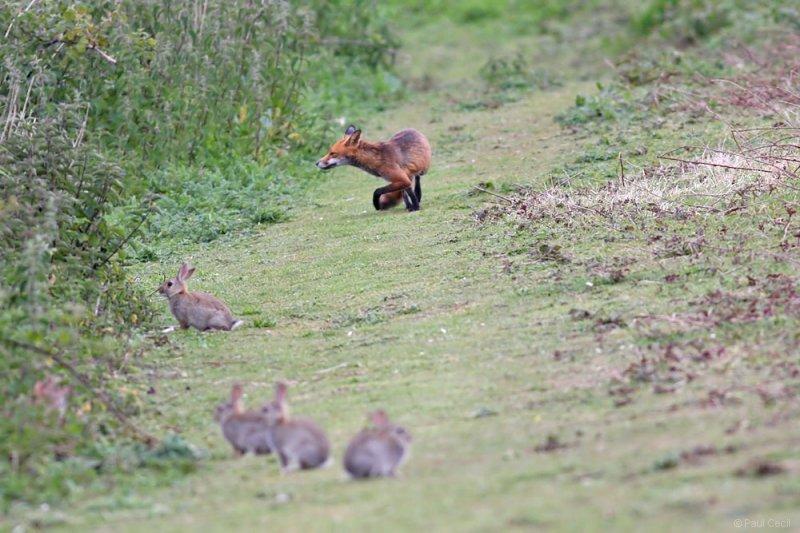 fox_vixen_1605092549