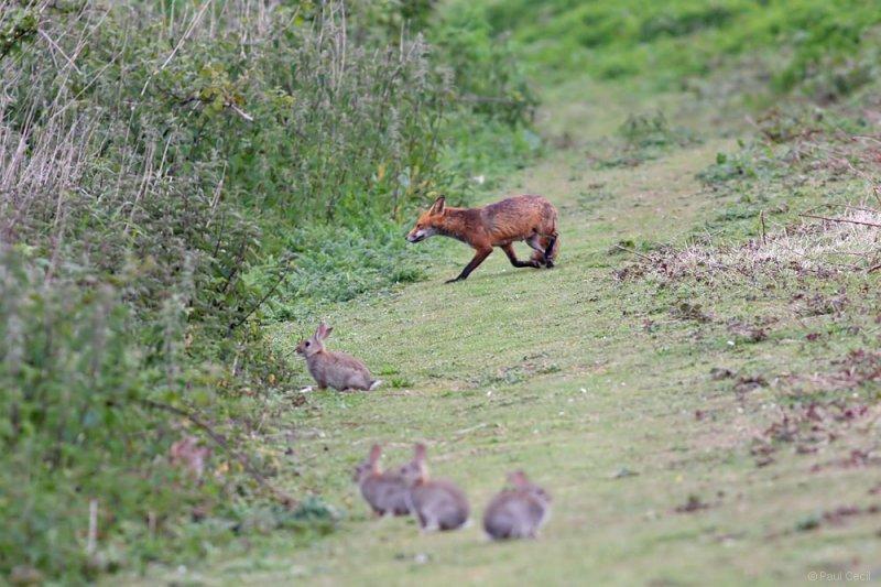 fox_vixen_1605092550