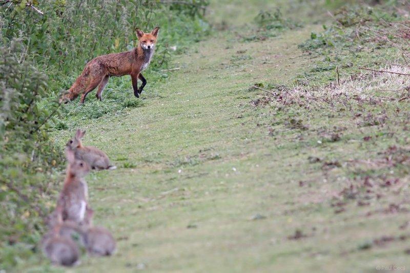 fox_vixen_1605092556