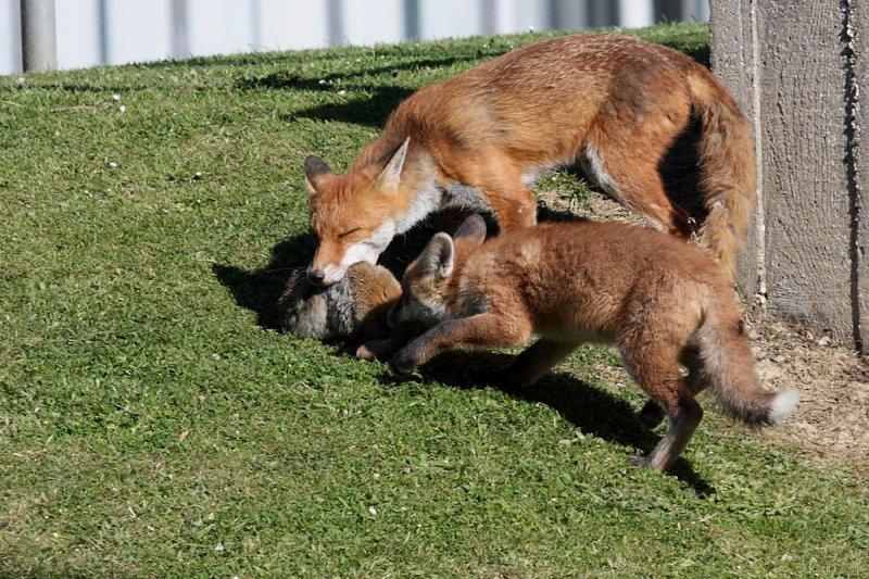 fox_vixen_cub_campus_2205093595
