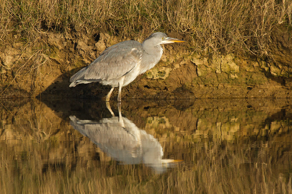 Grey heron (Ardea cinerea) standing in mirror still water against golden vegetation background with full reflection. Seven Sisters Country Park, East Sussex.