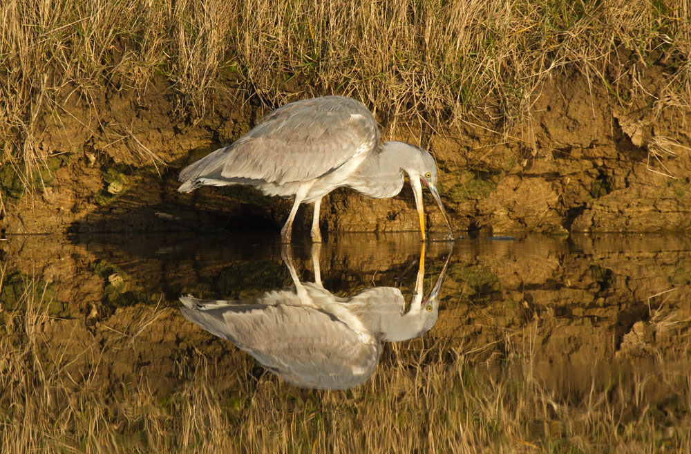 Grey heron (Ardea cinerea) standing in mirror still water against golden vegetation with beak wide opendipping into the water, with full reflection. Seven Sisters Country Park, East Sussex.
