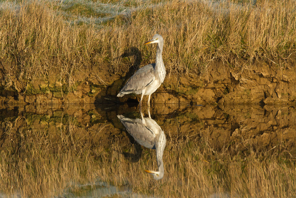 Grey heron (Ardea cinerea) standing upright in mirror still water against golden vegetation with full reflection. Seven Sisters Country Park, East Sussex.