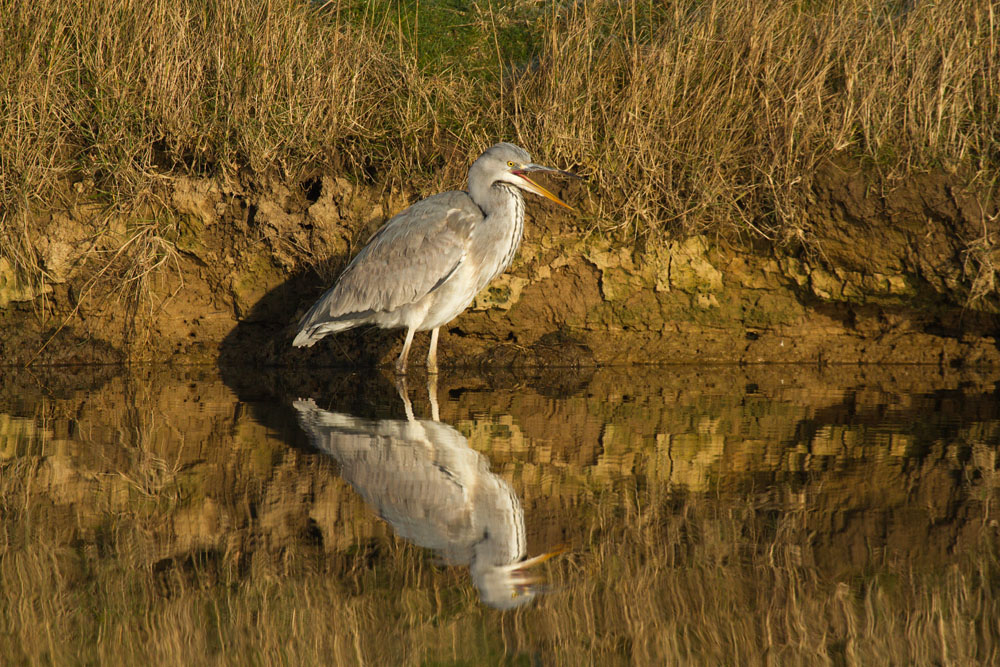 Grey heron (Ardea cinerea) standing in mirror still water against golden vegetation with beak wide open, with full reflection. Seven Sisters Country Park, East Sussex.