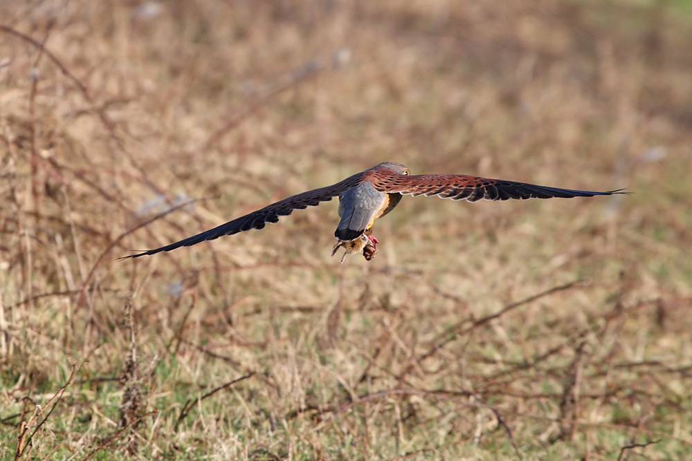 kestrel_prey_1202112549