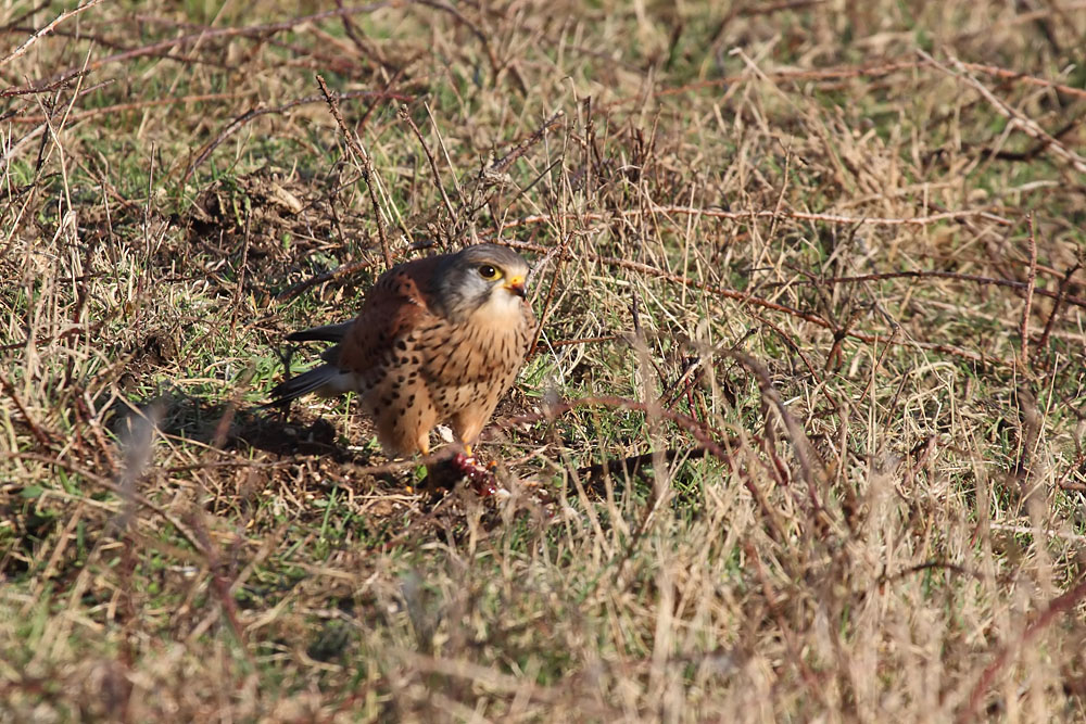 kestrel_prey_1202112598