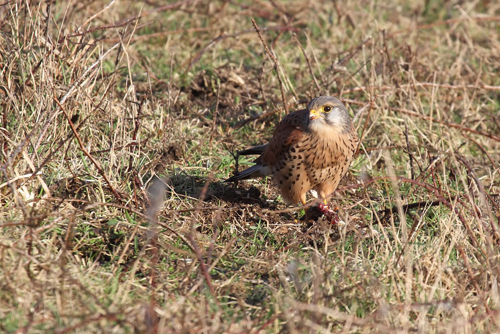 kestrel_prey_1202112599