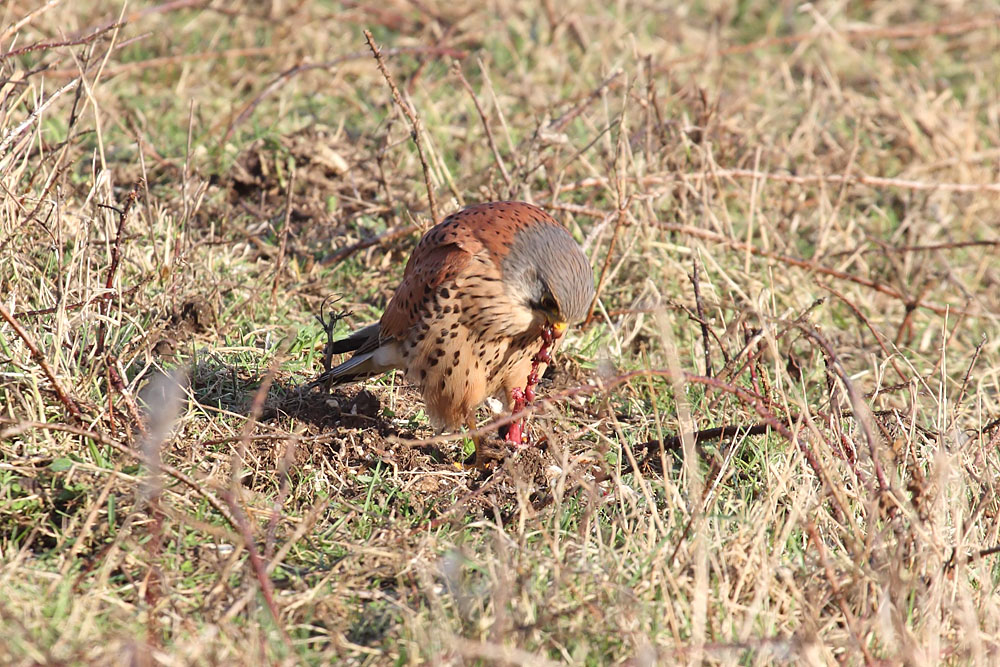 kestrel_prey_1202112613