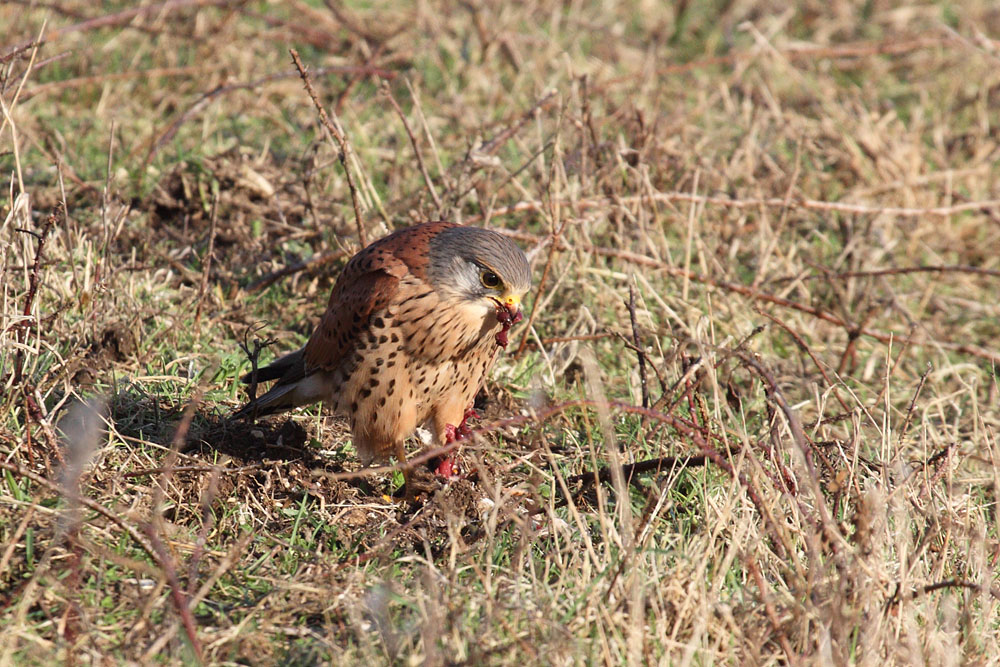 kestrel_prey_1202112614