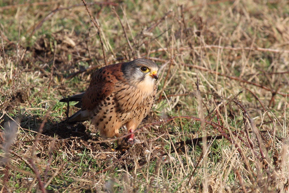 kestrel_prey_1202112627