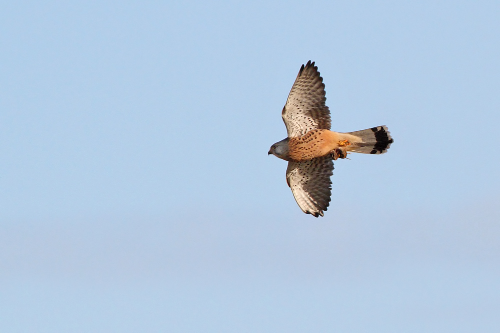 kestrel_prey_1202112634