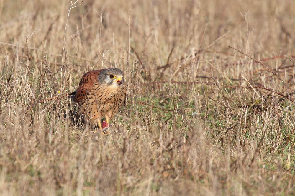 kestrel_prey_1202112660