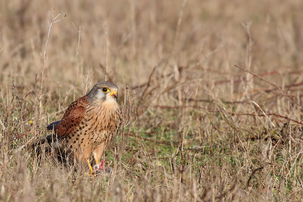kestrel_prey_1202112670