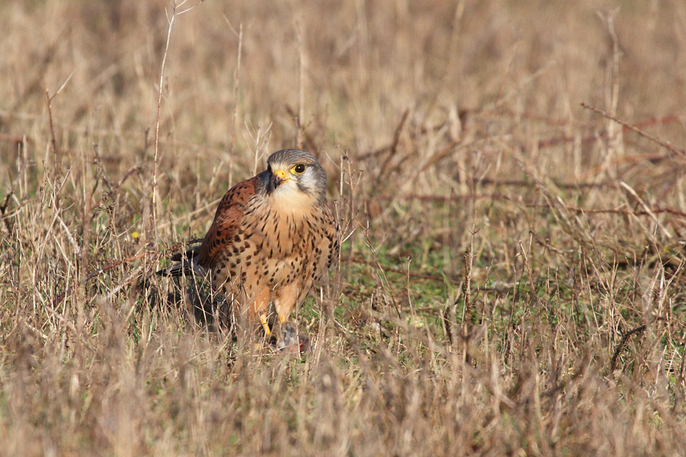 kestrel_prey_1202112697