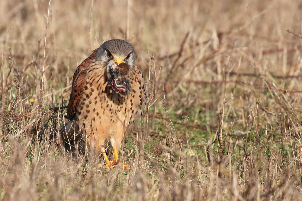 kestrel_prey_1202112711