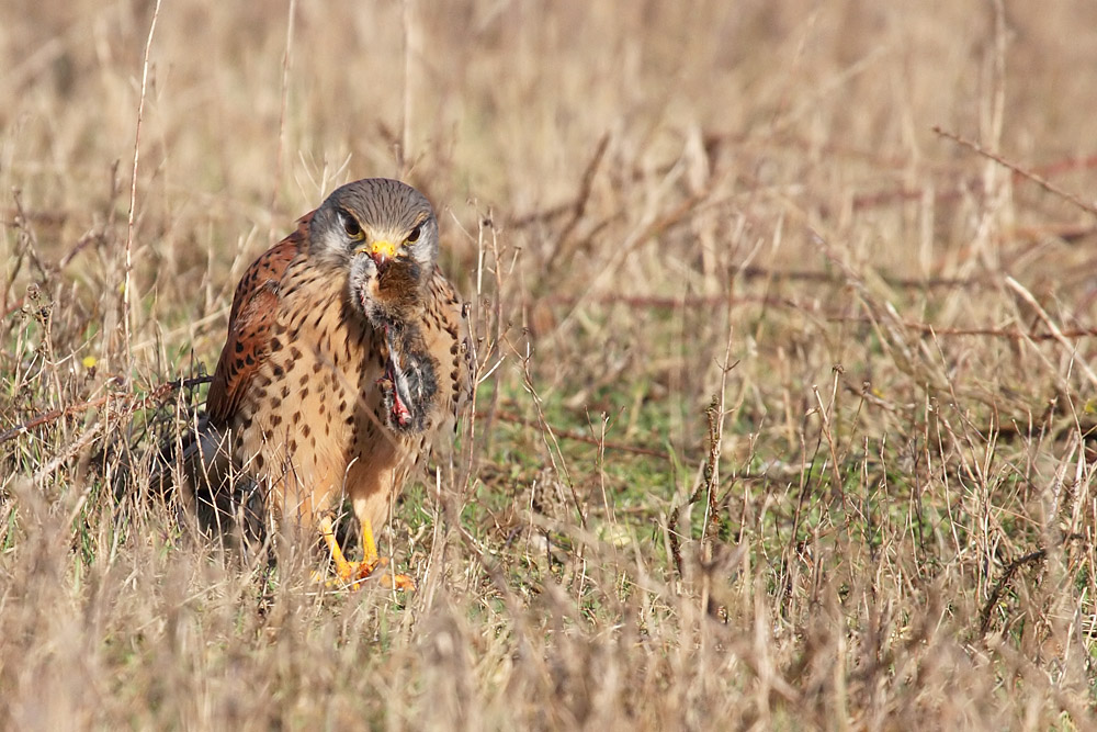 kestrel_prey_1202112712