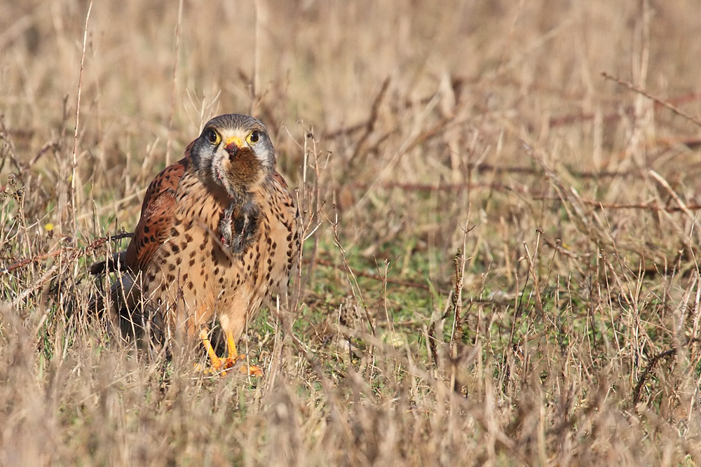 kestrel_prey_1202112713