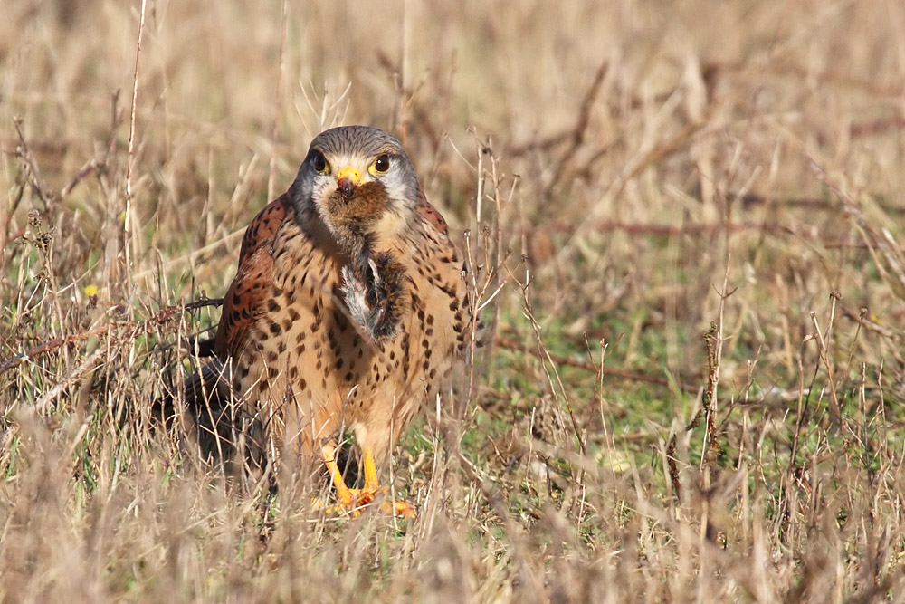 kestrel_prey_1202112714