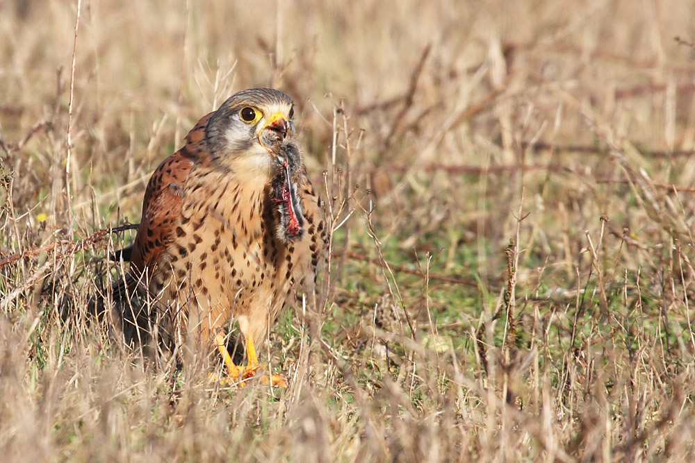 kestrel_prey_1202112718
