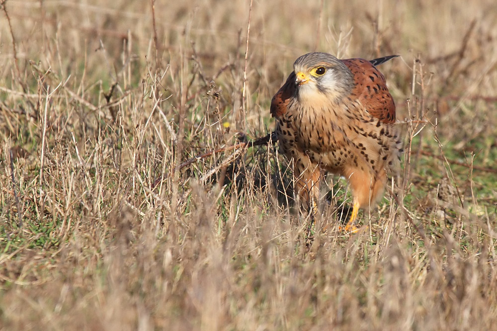 kestrel_prey_1202112730