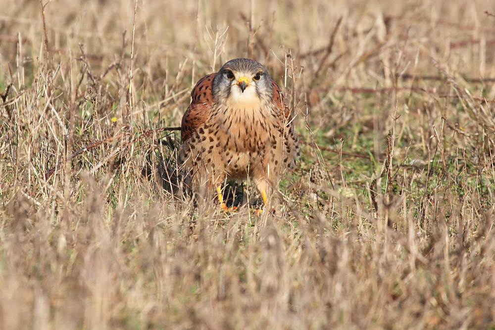 kestrel_prey_1202112737
