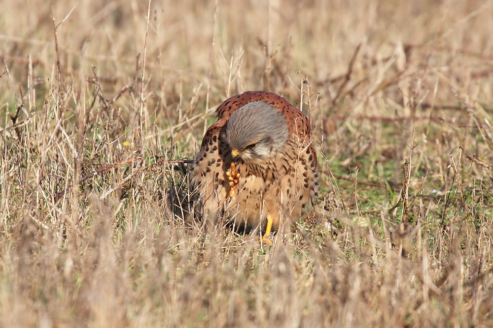 kestrel_prey_1202112742