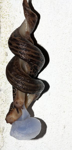 slug_mating_2507094978