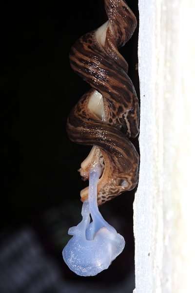 slug_mating_2507094987