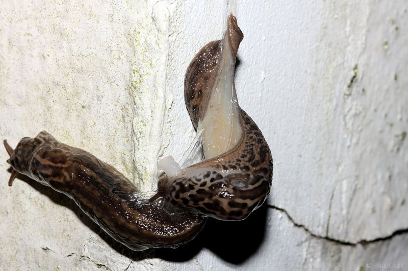 slug_mating_2507095012