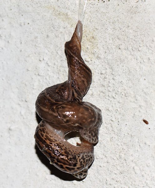 slug_mating_2808116511
