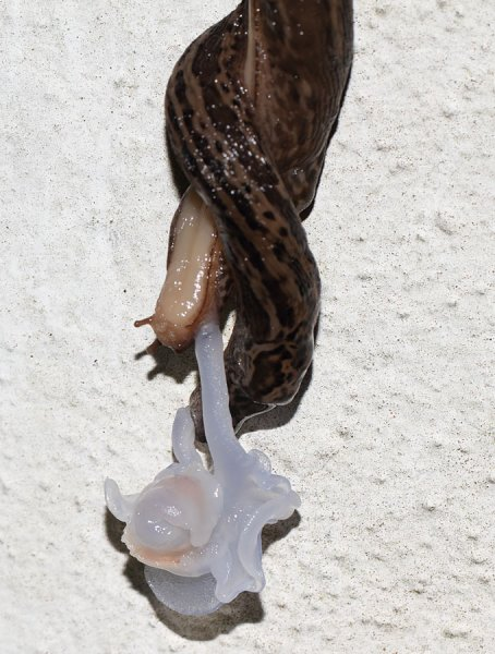 slug_mating_2908116687