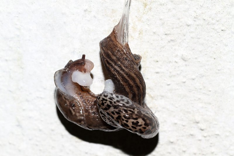 slug_mating_2908116704