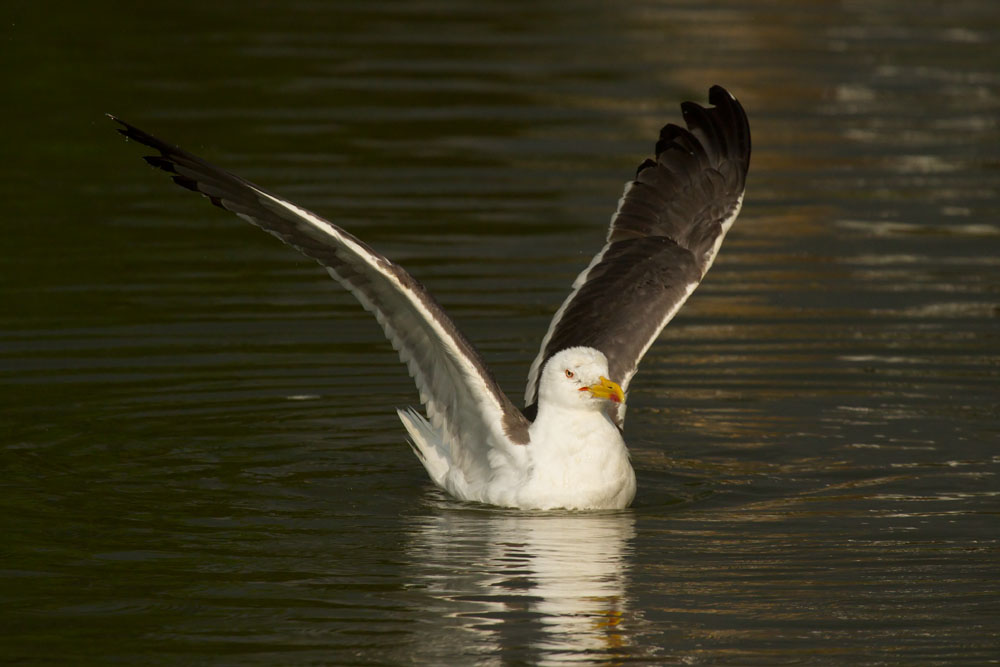 Lesser black backed gull (Larus fuscus) spreading wings on Falmer Pond, East Sussex, showing distinctive dark plumage.