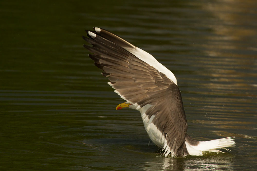 Lesser black backed gull (Larus fuscus) spreading wings on Falmer Pond, East Sussex, showing distinctive dark plumage and yellow legs