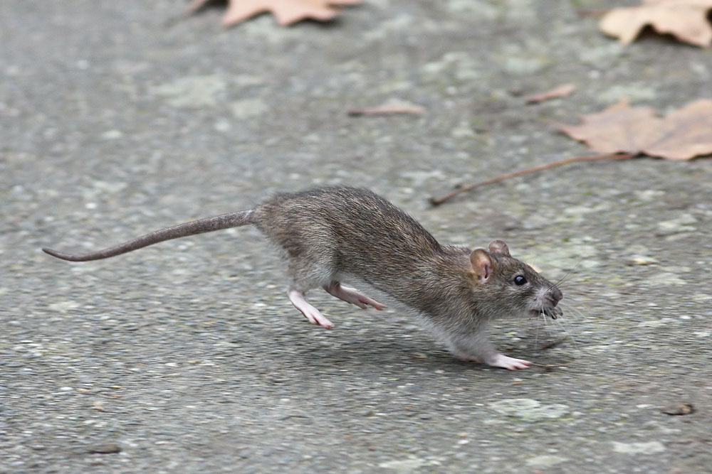rat_1711109541