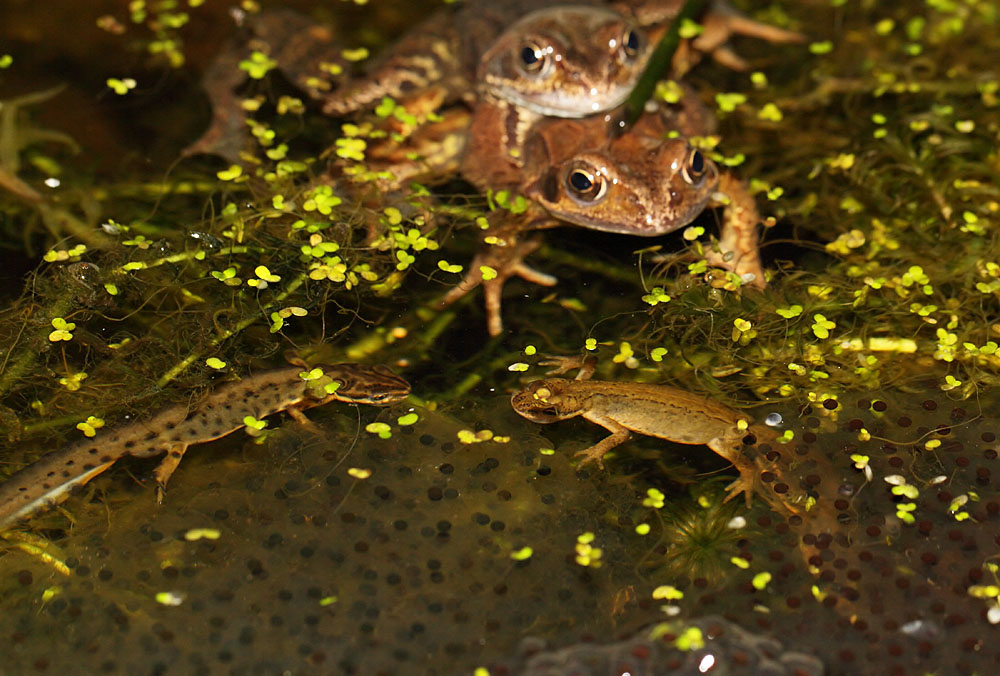 frog_newt_spawn_1103117771