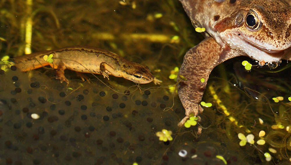 frog_spawn_newt_1003117450