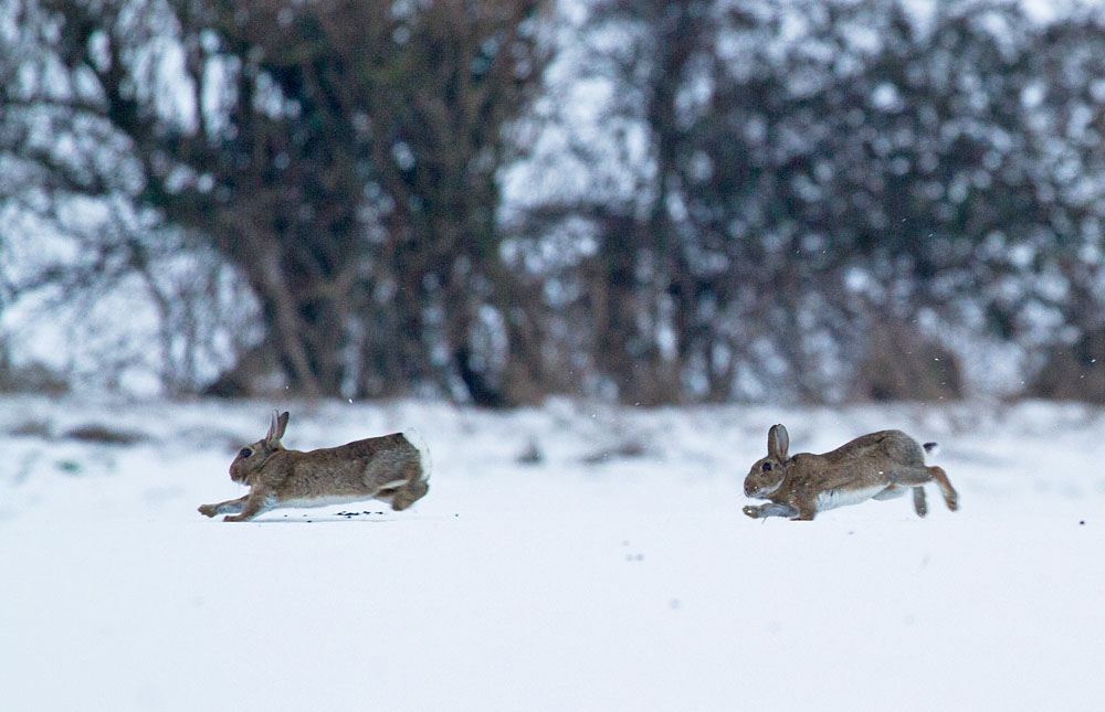 rabbit_snow_0902126311